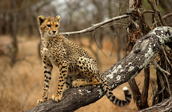 Cheetah Tree 250.png